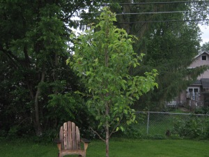 Poor pear tree.