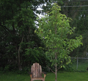 Our pear tree is growing.