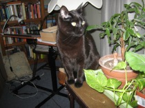 Cat hanging out with books and Christmas cactus.