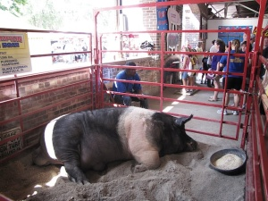 Tiny, the big boar, at the State Fair.
