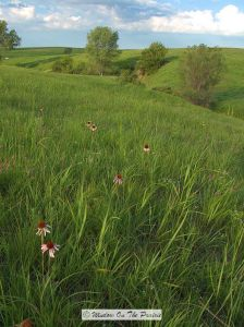 Willa-Cather-Memorial-Prairie