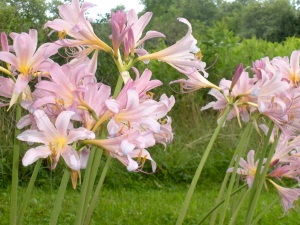 resurrection lilies DSCN4534