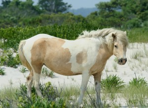 A wild pony at Assateague.